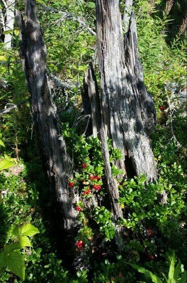 Meditaatiota ja muita metsän antimia